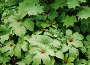 Goldenseal for Gonorrhea Treatment